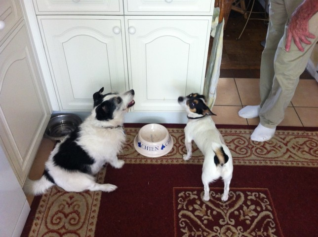 Jack Russells ate their dinner
