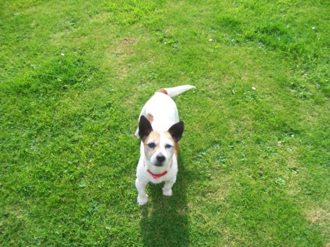Photo of a Jack Russell terrier